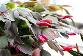 How to Grow a Christmas Cactus for Generations of Blooms