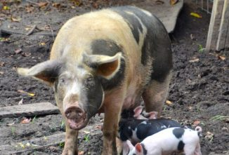 Sow Care During Farrowing and Lactation