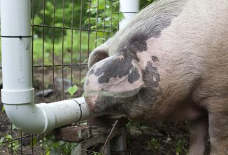 How to Make a Pig Waterer from PVC Pipe