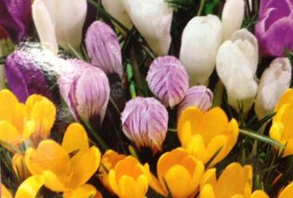 How to Plant Daffodil, Tulip and Other Bulbs in Pots