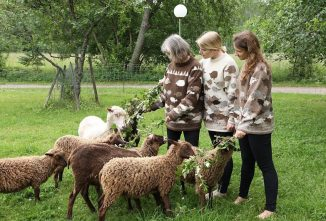 Finnish Sheep Characteristics Make Them Perfect Fiber Animals