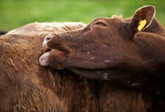 Why Raise Miniature Cattle?