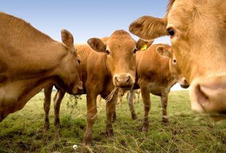 Your Guide to Dairy and Beef Cattle Breeds