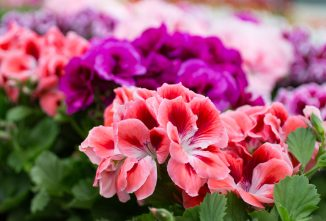 Why You Should Consider Wintering Geraniums