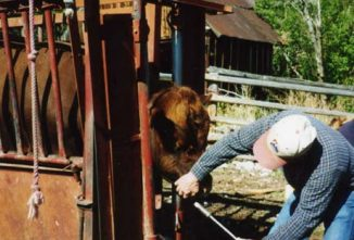 Diagnosing and Treating Hardware Disease in Cattle