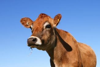 Belfair Miniature Cattle: A Small, All-Around Breed