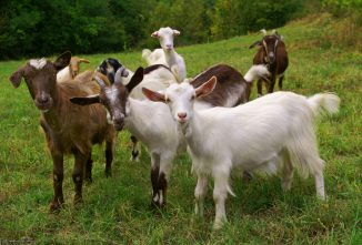 The Basics of Caring for Goats (TEST)